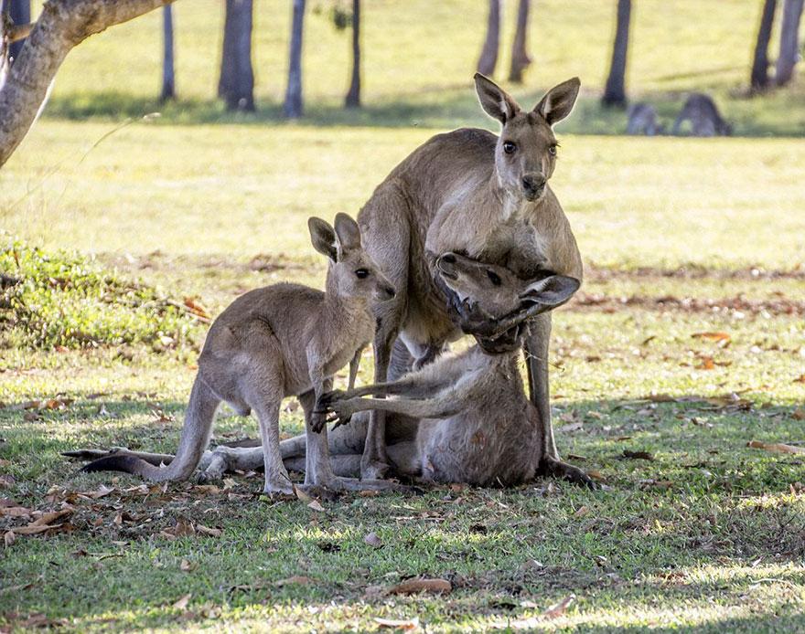 той картинка с кенгуру с малышом и мамой растение пользуется большой