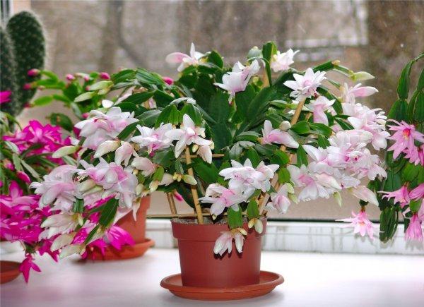 Виды и сорта роз: фото, названия 42