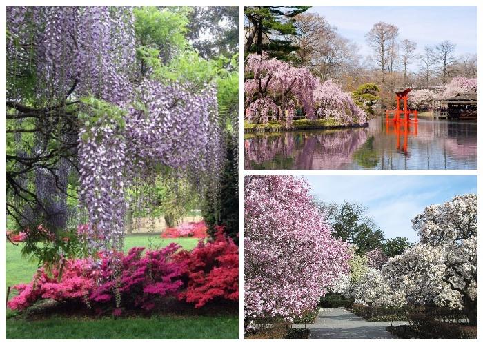 Самая любимая пора для посещений сада, когда цветут сакуры, магнолии и вишни (Brooklyn Botanic Garden). | Фото: newyork4rus.blogspot.com.