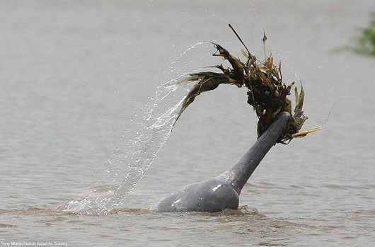 must credit:Tony Martin/British Antarctic Survey Amazon Dolphins dress to impress - Male Amazon dolphin carrying weeds to impress the opposite sex Can you please ensure that the photo is clearly credited with the researcher s name Tony Martin/British Antarctic Survey.