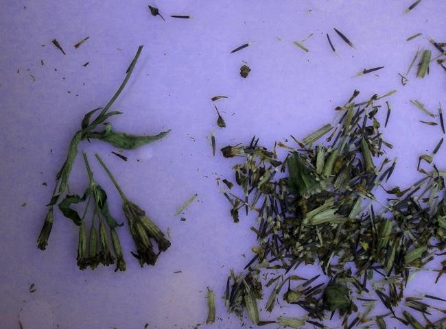 эстрагон, выращивание эстрагона, тархун, выращивание тархуна, как вырастить тархун в домашних условиях, как вырастить эстрагон в домашних условиях, рассада тархуна. рассада эстрагона, посадка тархуна, посадка эстрагона
