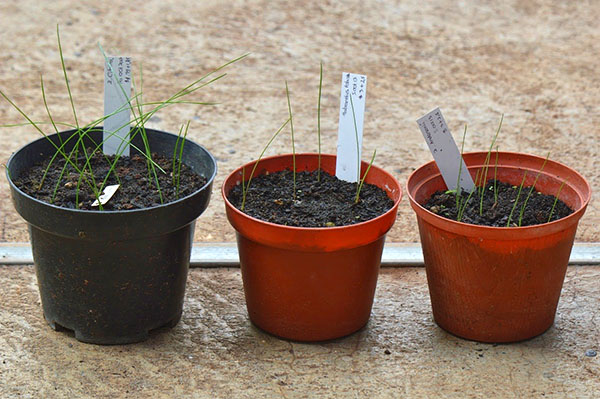 Выращивание зефирантеса из семян