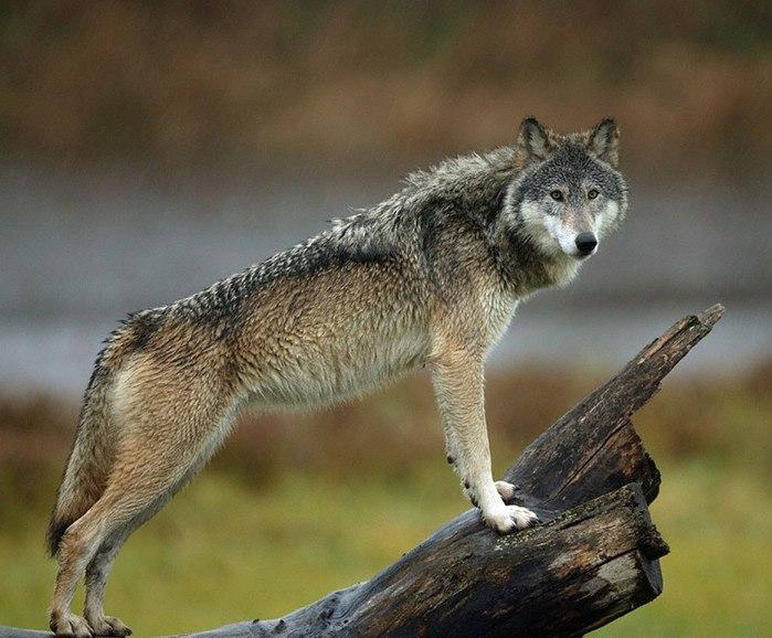 Картинки женщина и волк