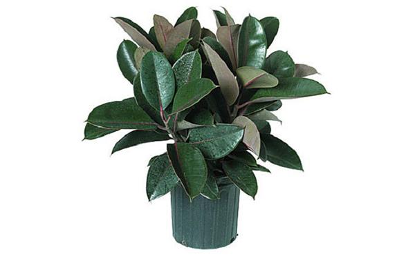 Самые полезные комнатные растения: Неприхотливое растение сансевиерия (Sansevieria), называемое в народе «тещин язык» или «змеиная кожа», по праву можно считать генератором кислорода. Сансевиерия помогает