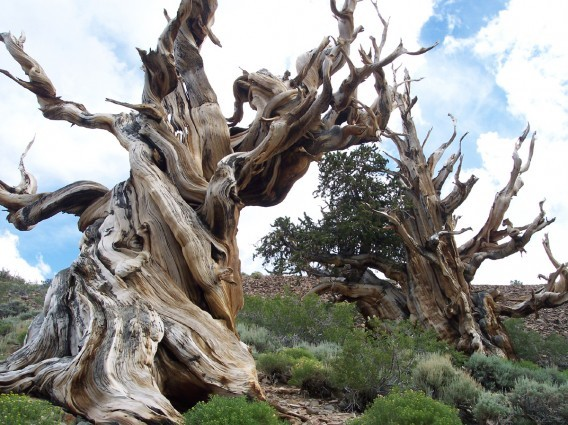 Деревья-долгожители земля, природа, удивительное рядом, чудеса