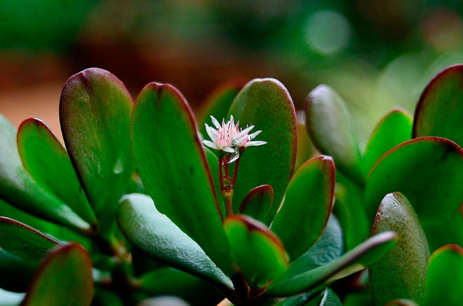 цветение толстянки