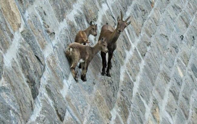 горные козлы бесстрашные животные (9)