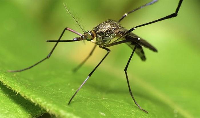 Комар-самка.