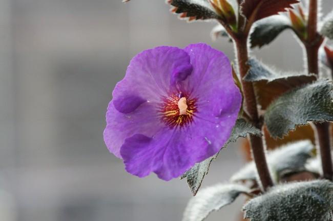 """Ахименес """"Paul Arnold"""" с красивым сочетанием фиолетовых бутонов и темных махровых листьев"""