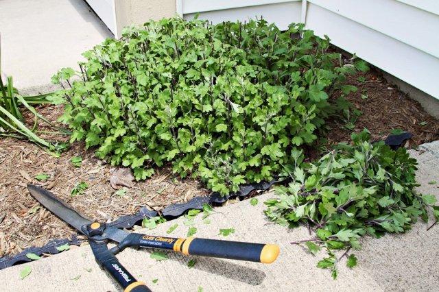 осенняя обрезка хризантем