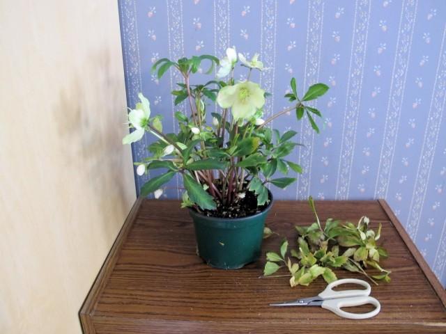 Обрезка усыхающих листьев на комнатном растении