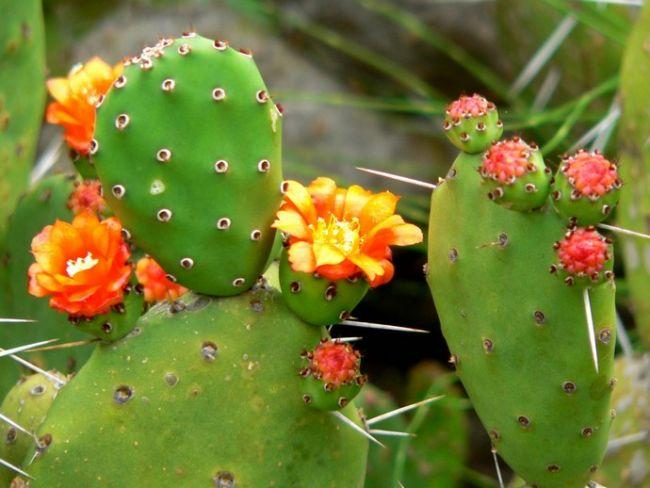 Цветение придаёт опунции высокодекоративный внешний вид