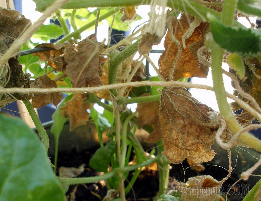 Почему у огурцов сохнут листья | 825x1068
