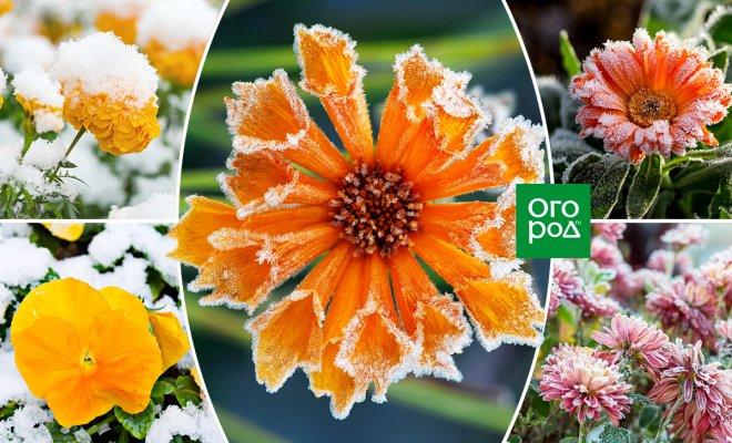 : цветы, не боящиеся заморозков