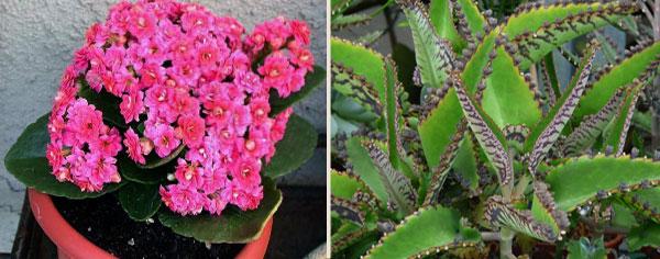 Каланхоэ цветущее и лечебное