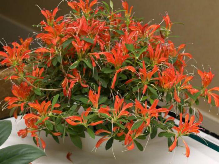 комнатный цветок эсхинантус фото и уход