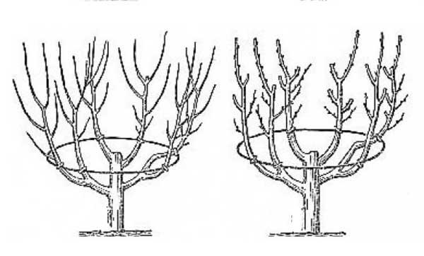 Формирование чашеобразной кроны