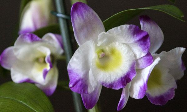 Цветок дендробиума