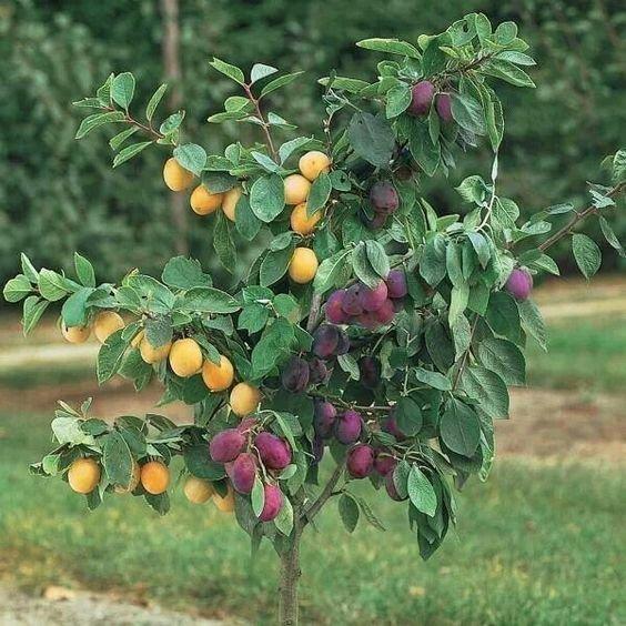 Экспреминты с деревом-садом ставят на сливах, персиках, черешне, вишне, цитрусовых и других Фабрика идей, дерево-сад, интересное, растения, садоводство, факты
