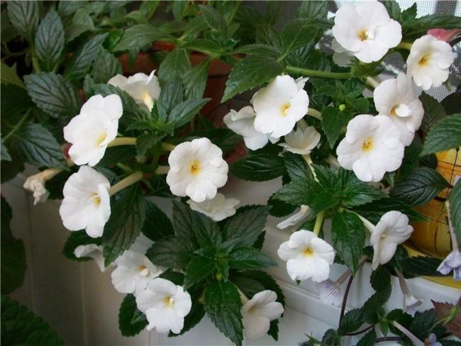 Чисто белые изящные цветки ахименесы