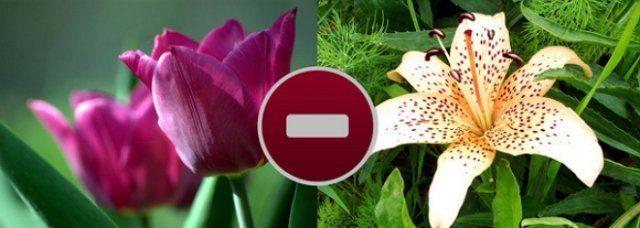 Лилилии и тюльпаны