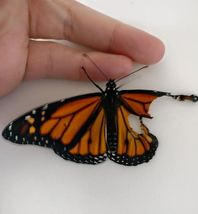 Бабочка Монарх появилась на свет с деформированным крылом.