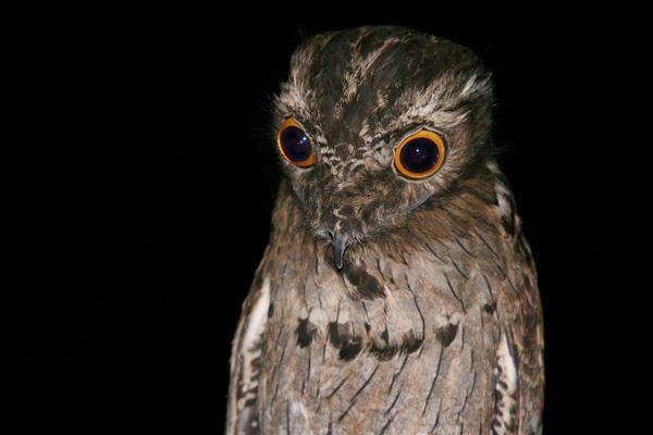 козодой - смешная птичка и ее название