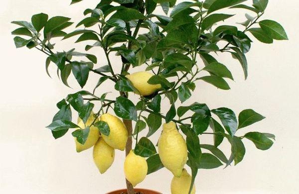 Подкормка лимона должна быть сбалансированной