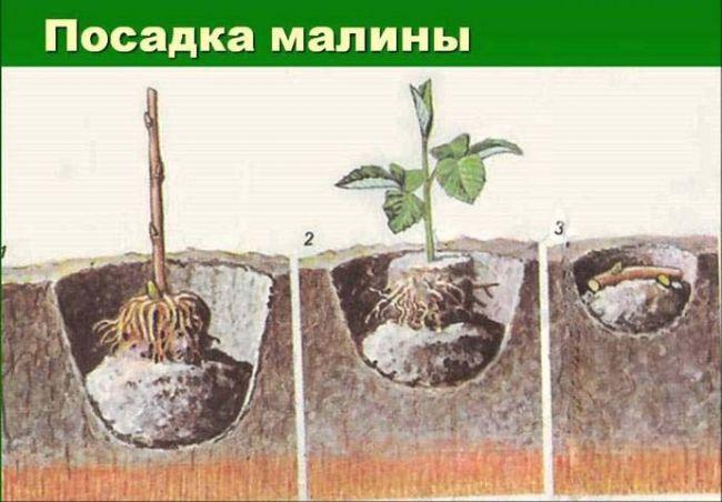 Проводить посадку саженцев можно как весной, так и в осенний период