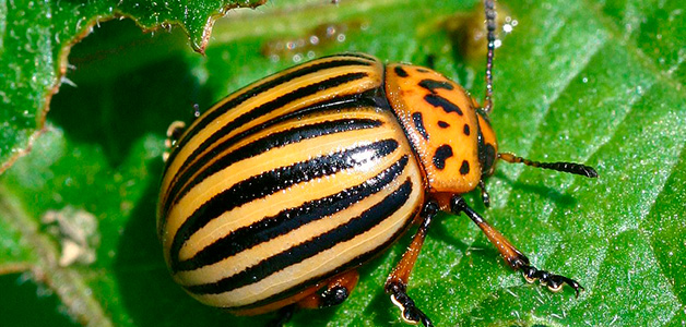 средство борьбы с колорадским жуком престиж