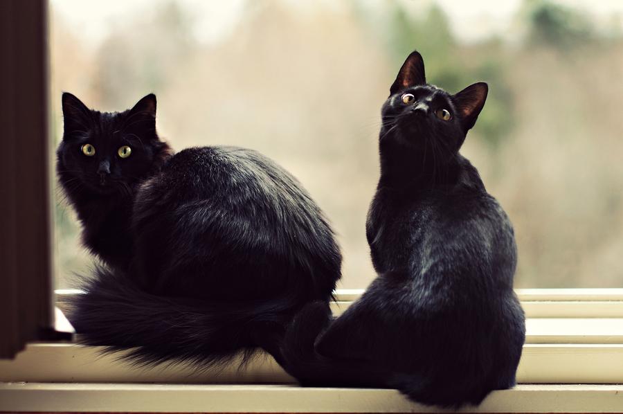 картинка двух черных кошек остров был назван