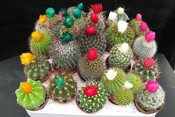 кактусы разных видов