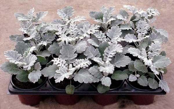 Как вырастить из семян серебристую цинерарию