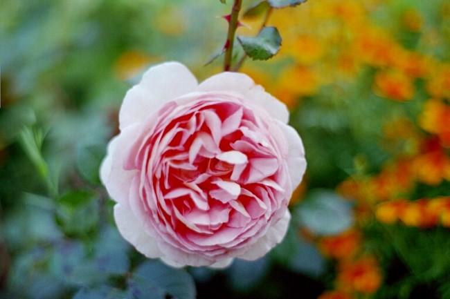 Из-за большого количества лепестков у многих роз Остина очень плотный бутон. Это следует учитывать, если в пору их цветения надвигается пасмурная дождливая и холодная погода - бутоны могут не суметь раскрыться