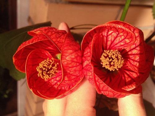 При хорошем уходе абутилон цветет круглый год