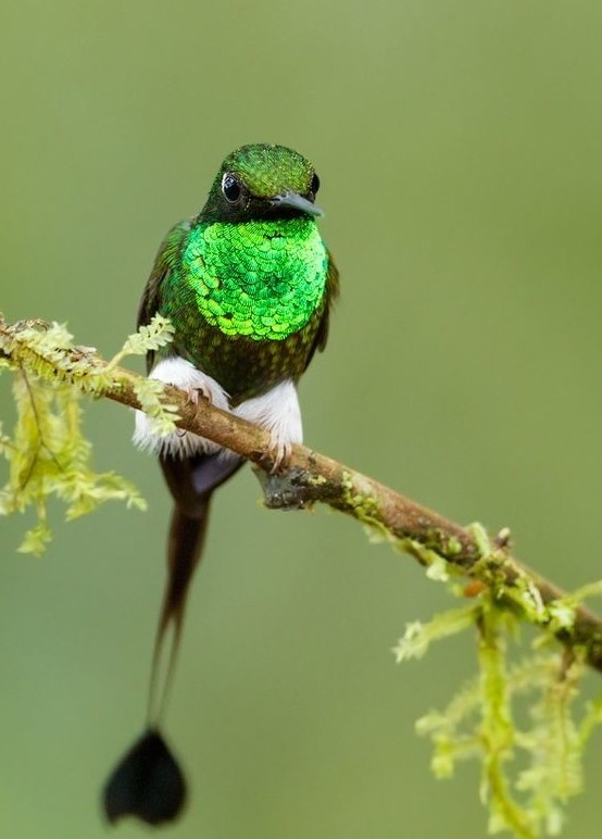 В сидячем положении кровь колибри бьется 400 раз в минуту, а при полете 1200 раз в минуту и увеличивается в размерах, чтобы прокачивать кровь быстрее по телу. интересное, колибри, природа, птицы, факты, фауна