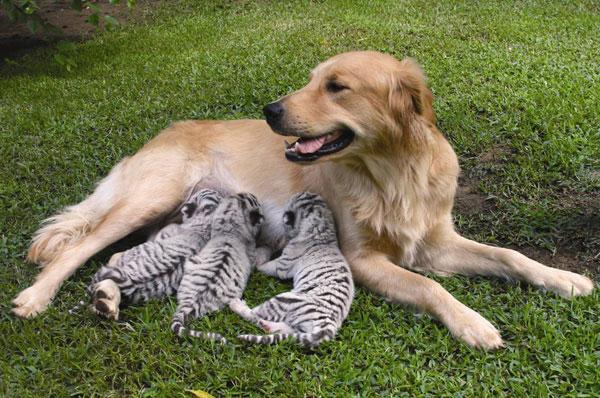 Усыновления в мире животных