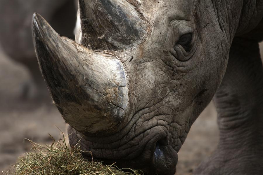 Виртуальный секс носорог