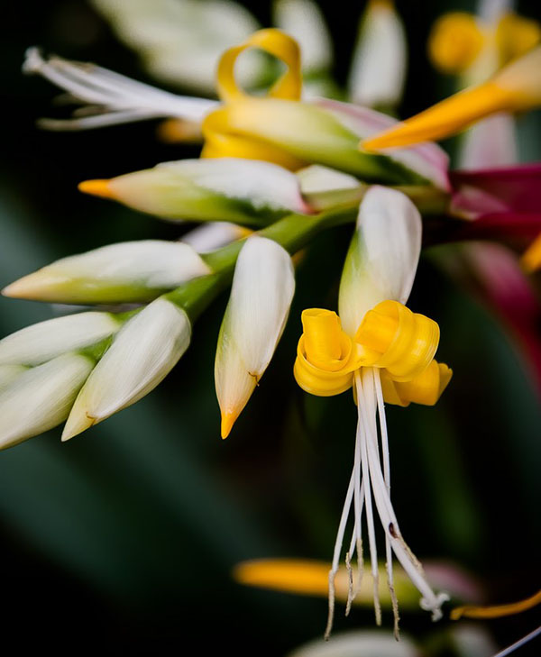 нежные цветы королевской вриезии