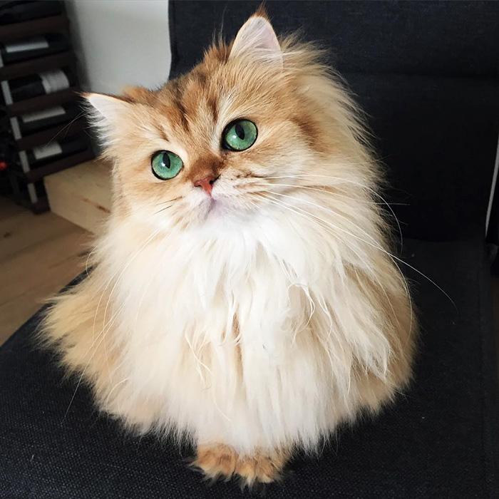 Британский длинношерстный кот, по имени Смузи с изумрудными глазёнками.