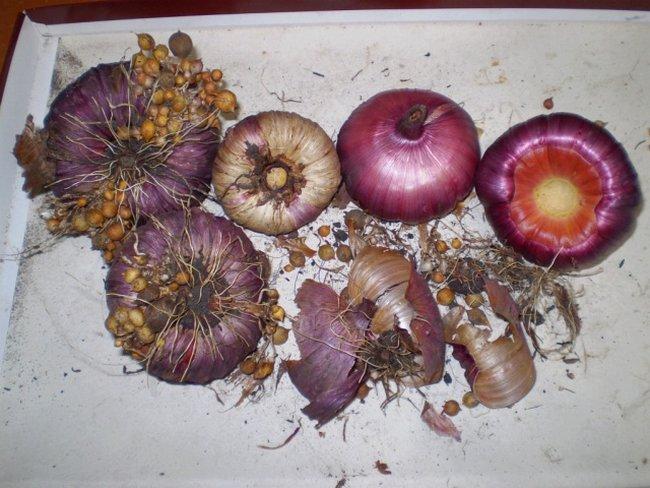 Уборка гладиолусов осенью и хранение