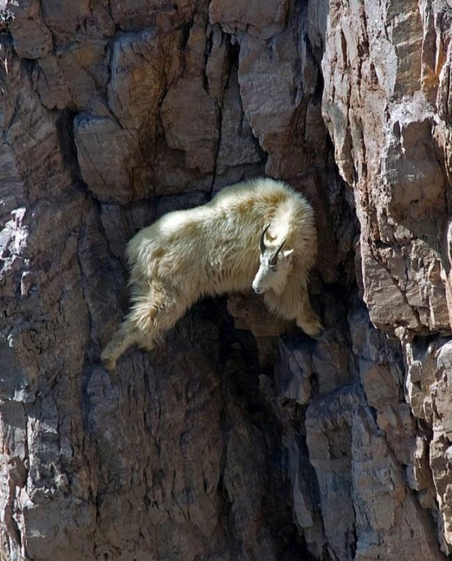 горные козлы бесстрашные животные (11)