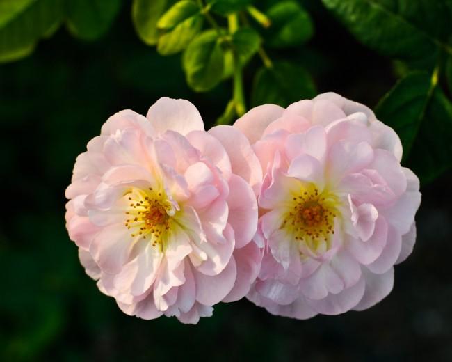 Необычная форма цветка сорта Scepter'd Isle