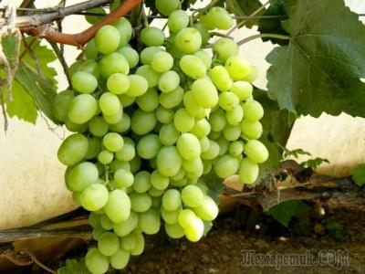 Виноград кеша 1