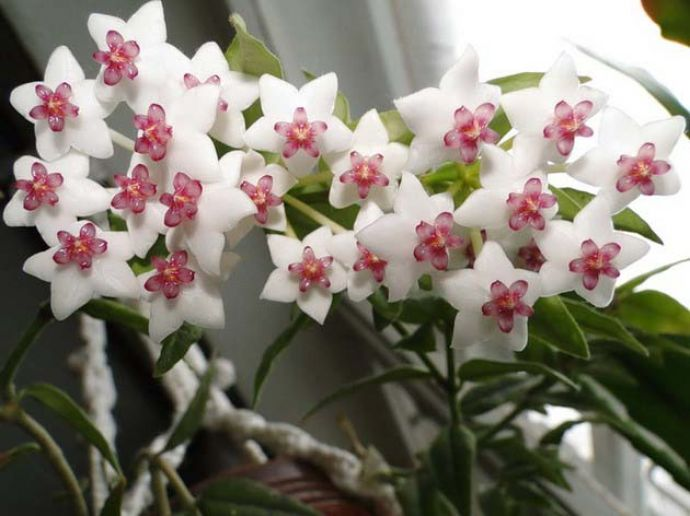 Лиановидный быстрорастущий плющ образует очень ароматные, единичные цветки-звёздочки, собранные в шаровидные корзинки, и в тот период, когда растение цветет – владельцев декоративной культуры ждут огромные несчастья