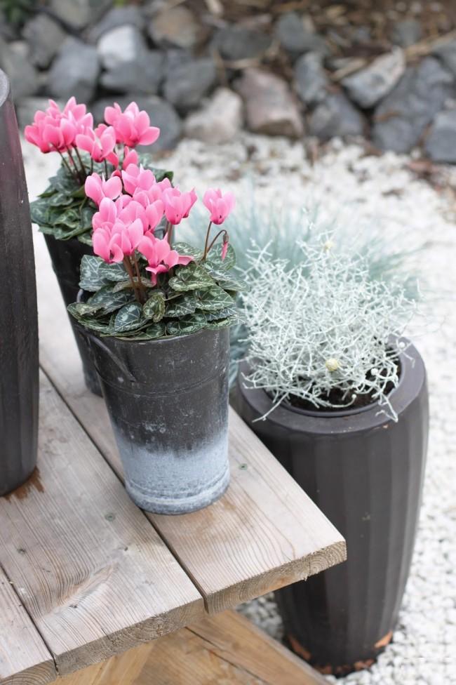 Цикламен во время цветения может вызвать аллергию