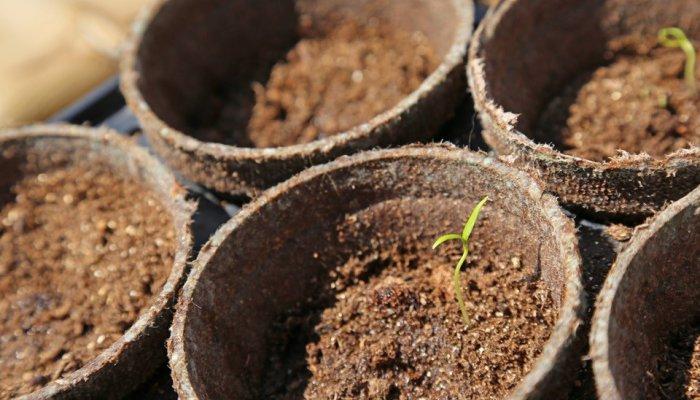 Рассадный грунт должен быть не высокопитательным