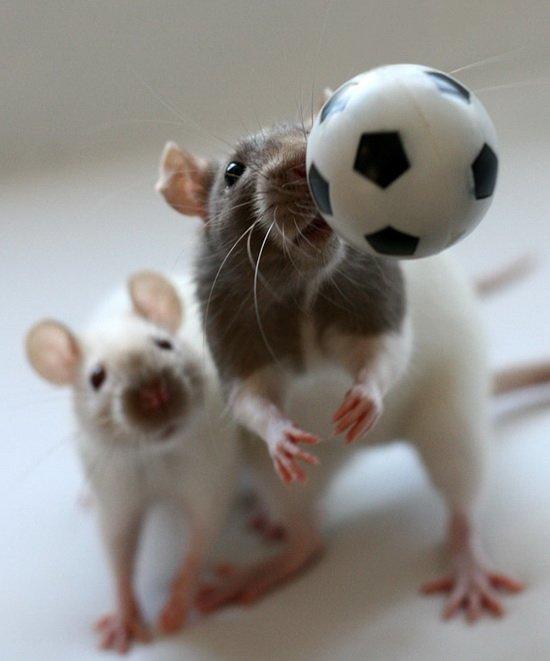 Крысы играют в футбол. Эллен ван Дилен. Фото