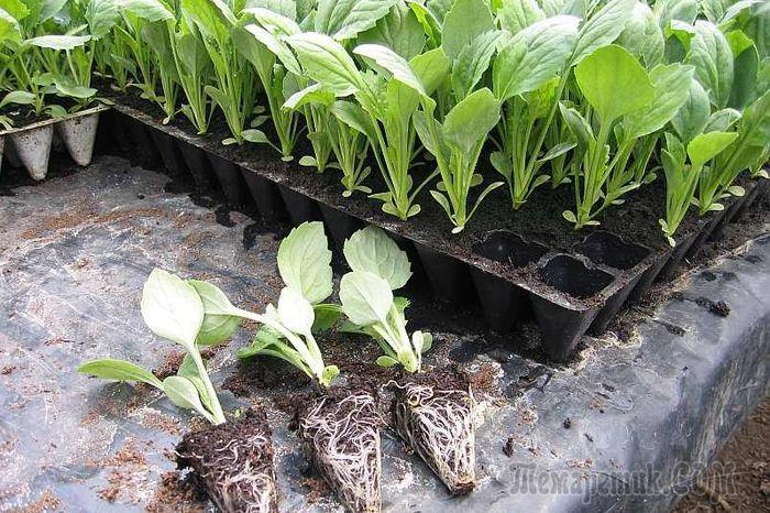 Как выращивать рассаду капусты в домашних условиях?