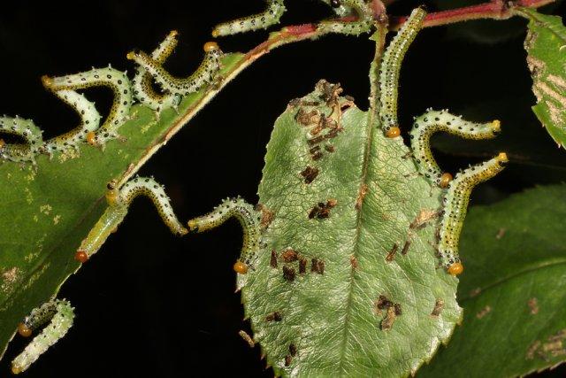 личинки пилильщика